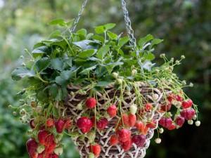previslé jahody v záhrade